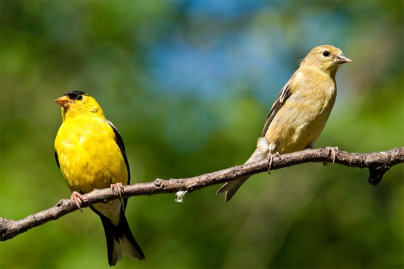 male-and-female-american-goldfinches.jpg